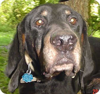 Black and Tan Coonhound Dog for adoption in Capon Bridge, West Virginia - Oscar