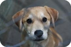 Labrador Retriever Mix Puppy for adoption in East Rockaway, New York - Tommy Boy