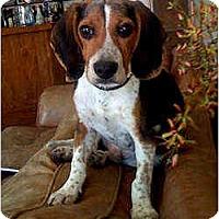 Adopt A Pet :: Cheeto - Novi, MI
