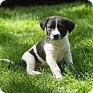 Adopt A Pet :: Blue BC 5 Pup - Blossom