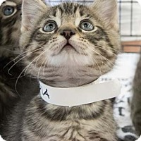Adopt A Pet :: Sequoia - Merrifield, VA