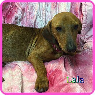 Dachshund Mix Dog for adoption in Hollywood, Florida - Lala