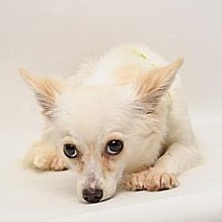 Photo 2 - Papillon/Pomeranian Mix Dog for adoption in Santa Cruz, California - Miss Tickle