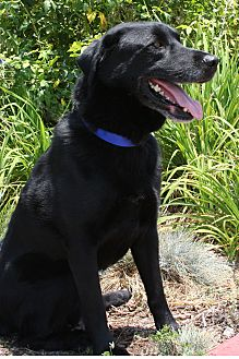 Labrador Retriever/Husky Mix Dog for adoption in Torrance, California - Max Black