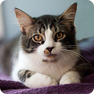 Domestic Longhair Kitten for adoption in Avon, New York - Jo Jo