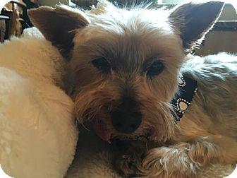 Yorkie, Yorkshire Terrier Dog for adoption in Reno, Nevada - Samson (Sammy)