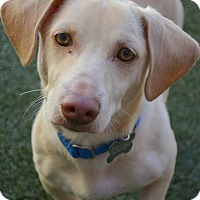 Adopt A Pet :: Cameron - Youngwood, PA