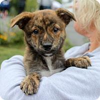 Labrador Retriever Mix Puppy for adoption in Harrison, New York - Robbie