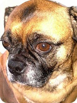 Pug/Beagle Mix Dog for adoption in Grapevine, Texas - Berto
