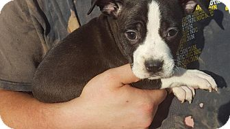 Boxer Mix Puppy for adoption in Washington, D.C. - Amber