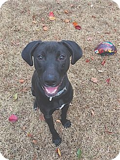 Labrador Retriever/Pointer Mix Puppy for adoption in Pulaski, Tennessee - Mazie