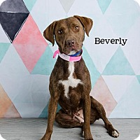 Adopt A Pet :: Beverly - Denver, CO