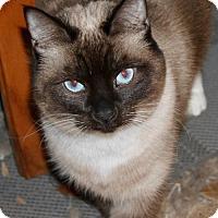 Siamese Cat for adoption in Cottonwood, California - Pippa