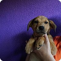 Adopt A Pet :: Degas - Oviedo, FL