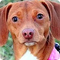 Adopt A Pet :: ROSIE(OUR LITTLE CUDDLER! - Wakefield, RI