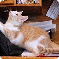 Adopt A Pet :: Christopher Creamsicle - Cincinnati, OH
