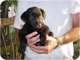 Labrador Retriever Mix Puppy for adoption in Kingwood, Texas - Mini Lab Babies