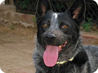 Cattle Dog Dog for adoption in Sun Valley, California - Tucker