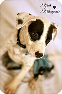 Pit Bull Terrier Mix Puppy for adoption in Gilbert, Arizona - Panda
