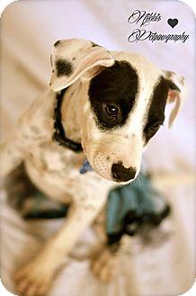 Pit Bull Terrier Mix Puppy for adoption in Gilbert, Arizona - Panda