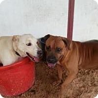 Adopt A Pet :: Boots - Eustis, FL