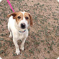 Adopt A Pet :: Spunky Medina - Westminster, CO