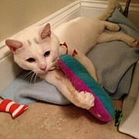 Domestic Shorthair Cat for adoption in New York, New York - Winter White