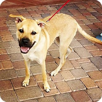 Phoenix, AZ - German Shepherd Dog/Pit Bull Terrier Mix ...