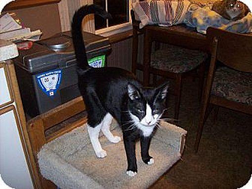 Domestic Shorthair Cat for adoption in Kelso/Longview, Washington - Ellie