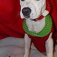 Pit Bull Terrier Dog for adoption in Troy, Illinois - Joker Fostered (Lindsay M)