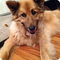 Adopt A Pet :: Brownie - Morrisville, NC