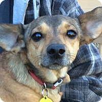Adopt A Pet :: Doxie Mix - Simi Valley, CA