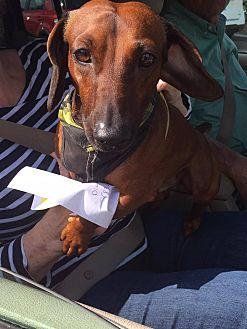 Dachshund Mix Dog for adoption in Lubbock, Texas - BRUNO