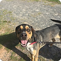 Rottweiler/Labrador Retriever Mix Dog for adoption in Ellaville, Georgia - Oscar