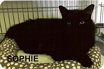Domestic Longhair Cat for adoption in Medway, Massachusetts - Sophie