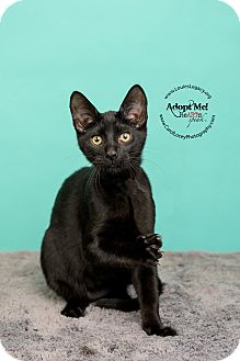 Domestic Shorthair Cat for adoption in Cincinnati, Ohio - Batman