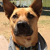 Adopt A Pet :: Scooby - El Cajon, CA