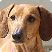 Adopt A Pet :: Holly Berry, 7 yrs, $300 fee - Spokane, WA