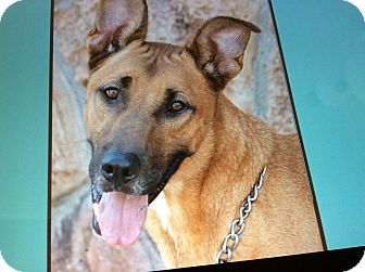 German Shepherd Dog Mix Dog for adoption in Los Angeles, California - BROWNIE VON BRICKEL