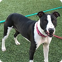 "Adopt A Pet :: Metallica ""Tallie"" - Columbia, IL"