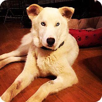 Siberian Husky/German Shepherd Dog Mix Dog for adoption in joliet, Illinois - Aspen
