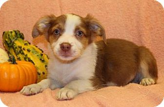 Beagle/Australian Shepherd Mix Puppy for adoption in Modesto, California - Brown Sugar