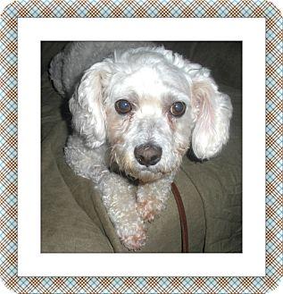 Bichon Frise Dog for adoption in Tulsa, Oklahoma - Bodi - IL