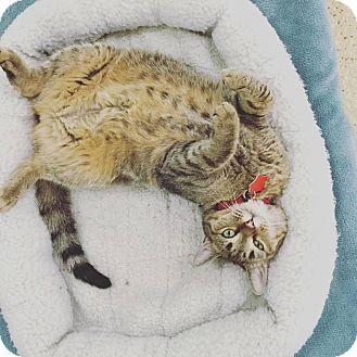 Domestic Shorthair Cat for adoption in Glendale, Arizona - Riley