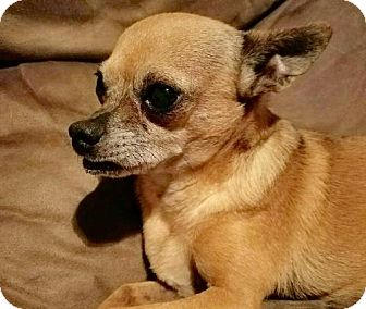 Chihuahua Dog for adoption in Fort Pierce, Florida - TAQUETO