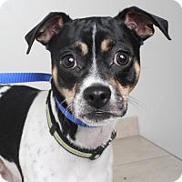Rat Terrier Dog for adoption in Edina, Minnesota - Jax  D161920
