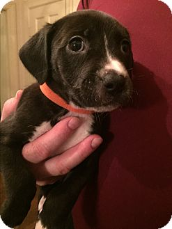Pit Bull Terrier/Labrador Retriever Mix Puppy for adoption in Colonial Heights, Virginia - Kate