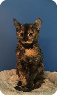 Domestic Shorthair Kitten for adoption in Summerville, South Carolina - Samantha