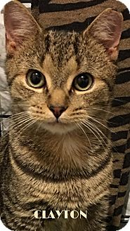 Domestic Shorthair Kitten for adoption in Great Neck, New York - Clayton