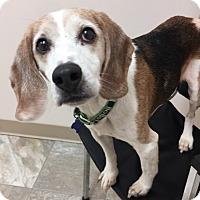 Adopt A Pet :: Buster Beagle - Urbana, OH